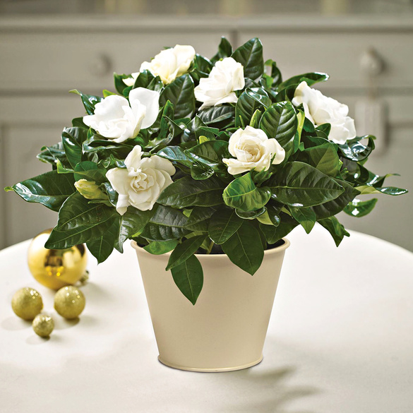 "Pflanzset ""Gardenia"""