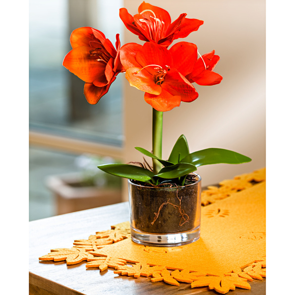 Herbst-Amaryllis