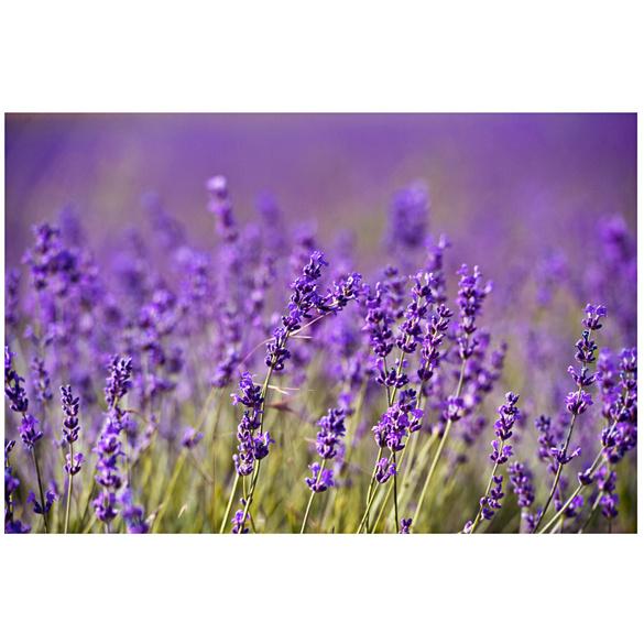 "Pflanzset ""Lavendel"""