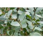 Zitronen-Eukalyptus